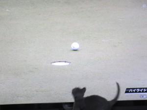 ゴルフボールに興味深深なロシ子。