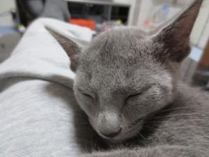 かわいい寝顔のロシ子。