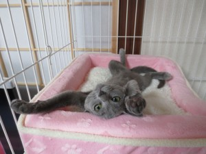 仰向けに寝るロシアンブルーのロシ子。