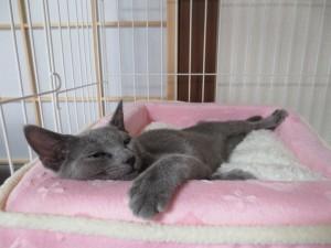 人間の様な寝方をするロシ子。