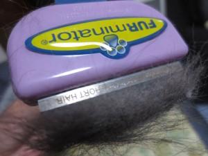 たくさんの毛が抜ける、ロシアンブルー。