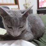 眠そうなロシアンブルーのロシ子。