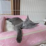 寝てるロシアンブルーのロシ子。