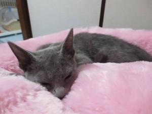 目を閉じて寝るロシアンブルー。