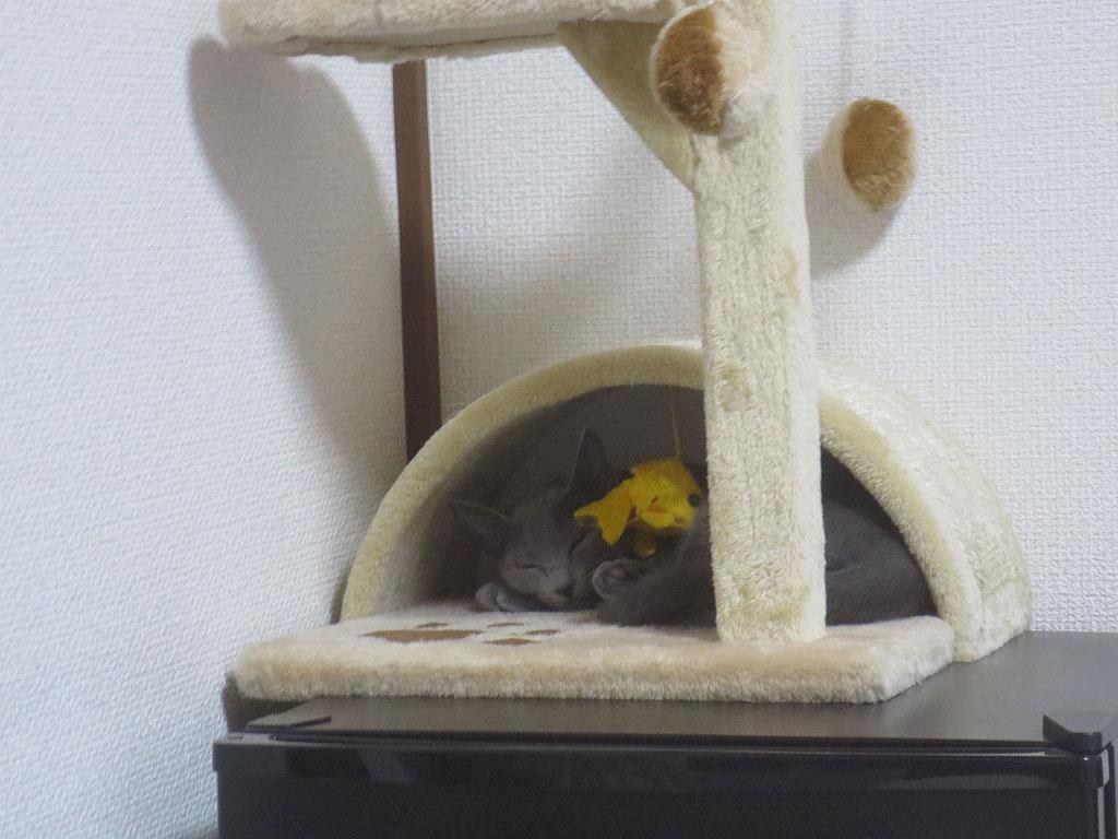 かわいい顔をして眠るロシ子。