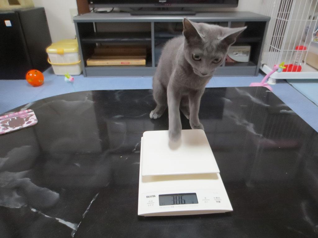 ロシ子の体重を測っています。