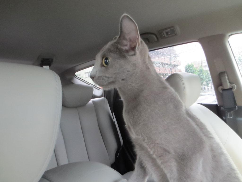 車の外が気になるロシ子。
