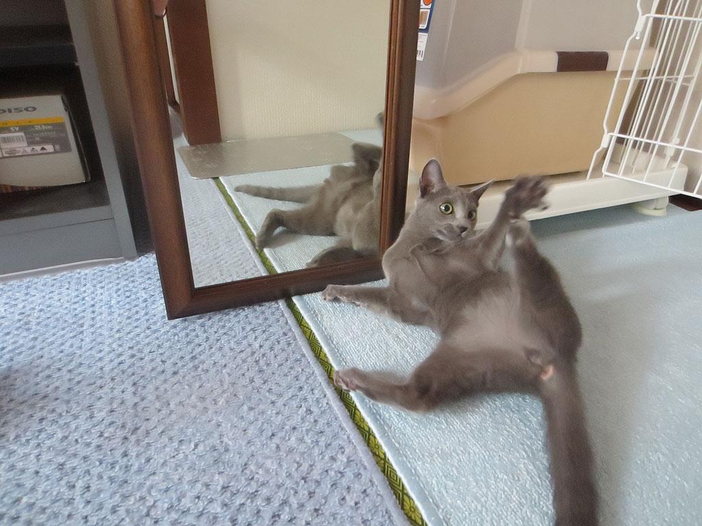鏡の前で転げ回るロシ子。
