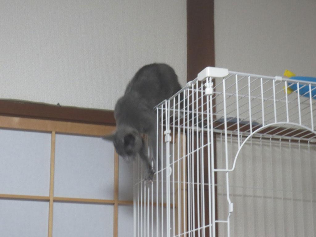 ケージからジャンプで下りるロシ子。
