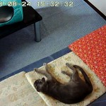 ソファーで寝るロシ子。