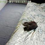すやすやと眠るロシ子。