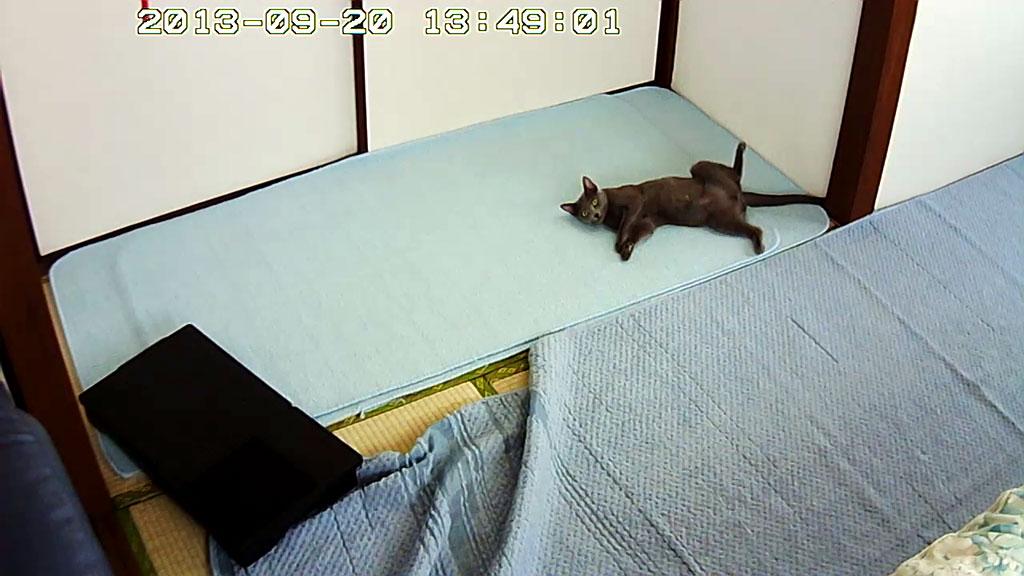お股を広げて寝るロシアンブルー。