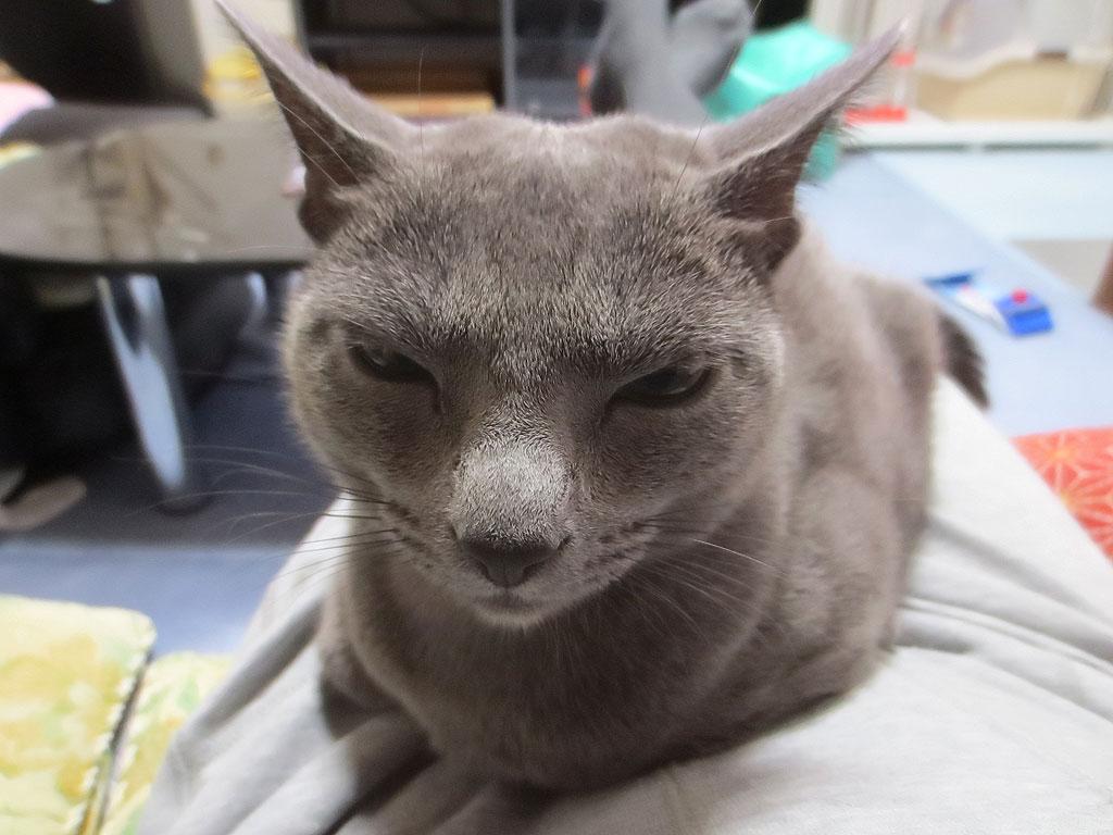 眠そうな顔が不細工なロシ子。