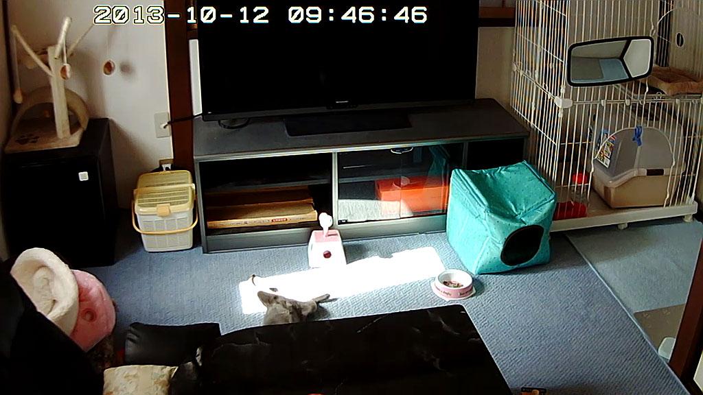 仰向けに寝るロシアンブルー。