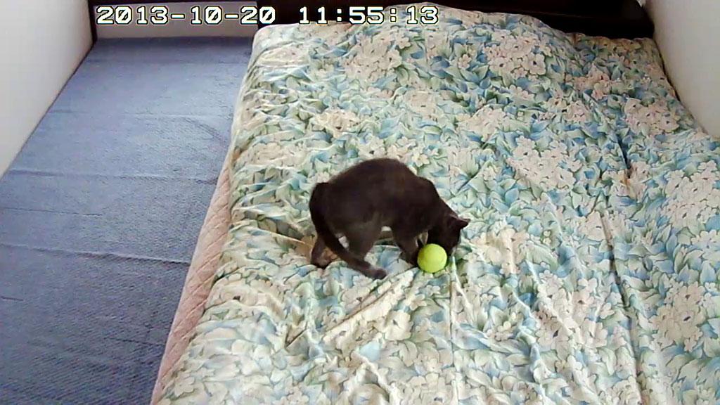 テニスボールに噛みつくロシ子。