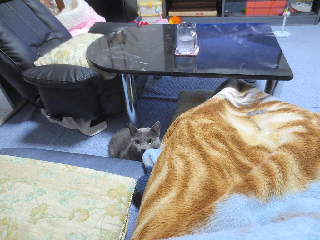 毛布を見るロシアンブルー。