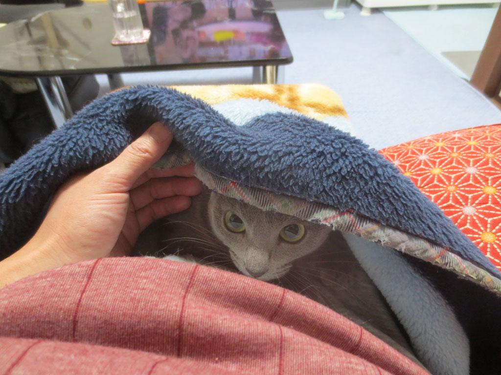 毛布の中のロシアンブルー。
