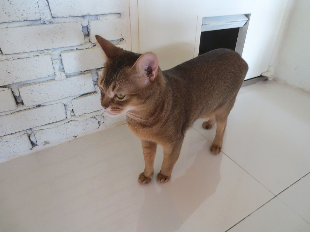 猫カフェのアビシニアン。