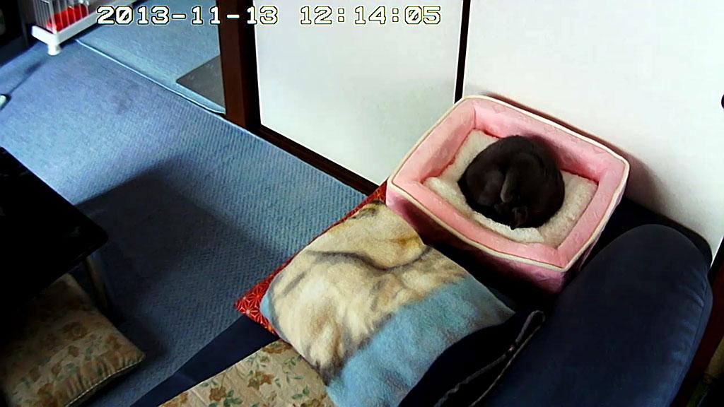 丸まって寝る、ロシアンブルー。