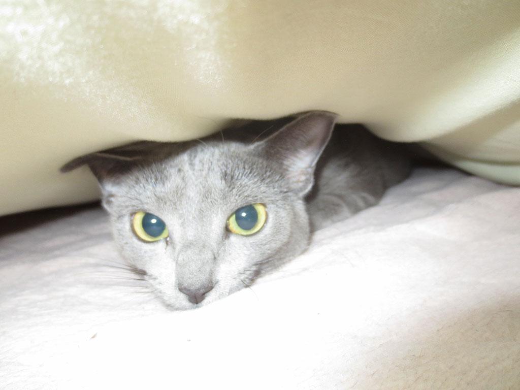 寝起きの顔のロシアンブルー。