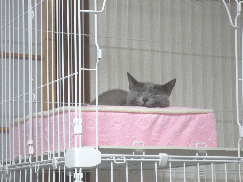 いつも通り寝る、ロシアンブルー。