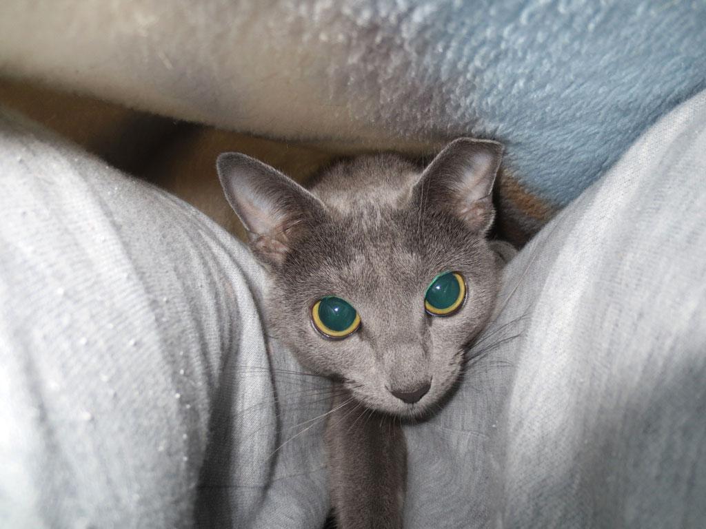 毛布の中の私の足元のロシ子。