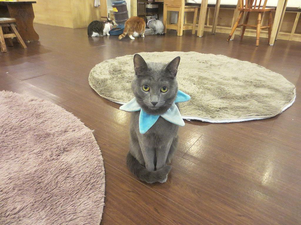 猫カフェのロシアンブルー。