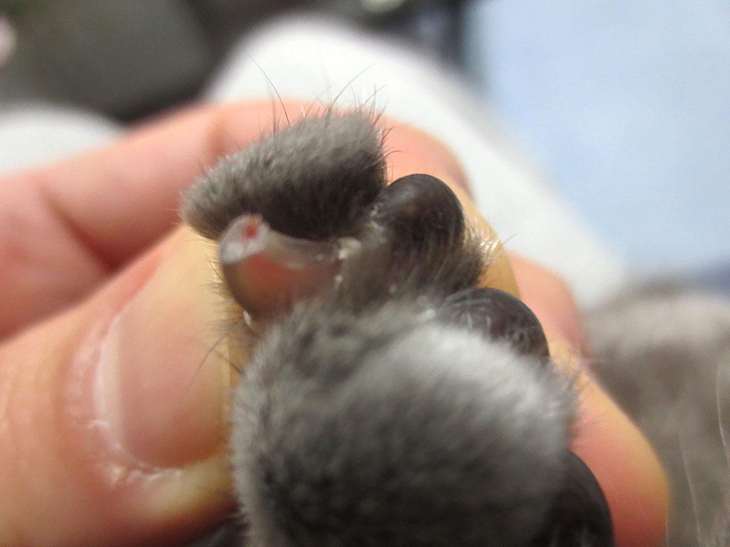 血がかすかに出るロシ子の足の指。