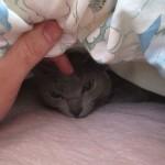 朝寝するロシアンブルー。