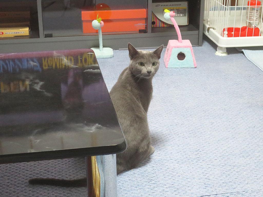 ロシ子に待てをさせます。