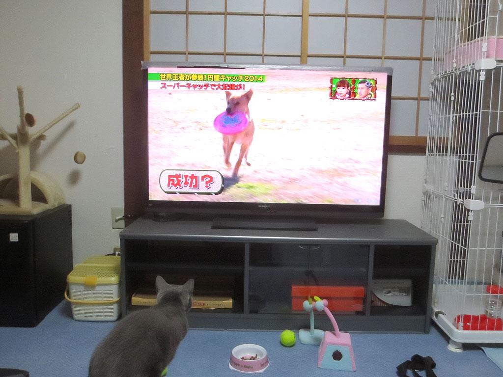 今にもテレビに飛び掛かりそうなロシ子。