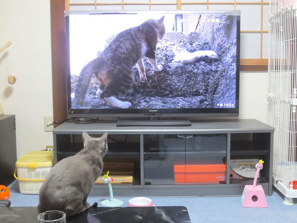 猫の番組に釘付けのロシ子。