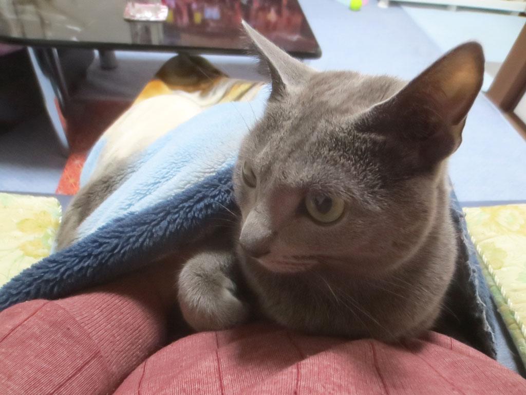 毛布の中に戻って来たロシ子。