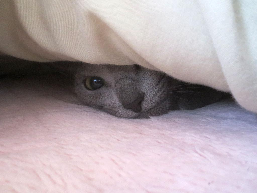 2度寝するロシアンブルー。