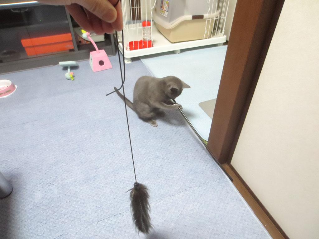 おもちゃの棒で遊ぶロシ子。