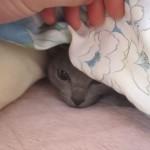 2度寝から起きるロシアンブルー。