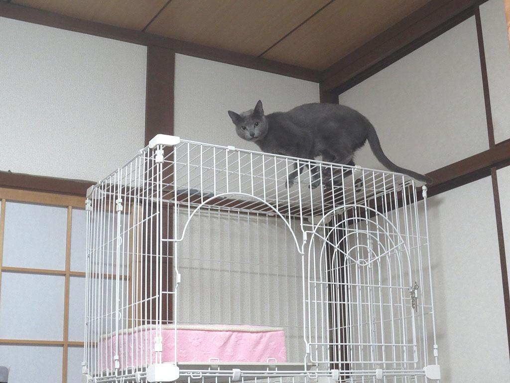 ケージの上に上がるロシ子。