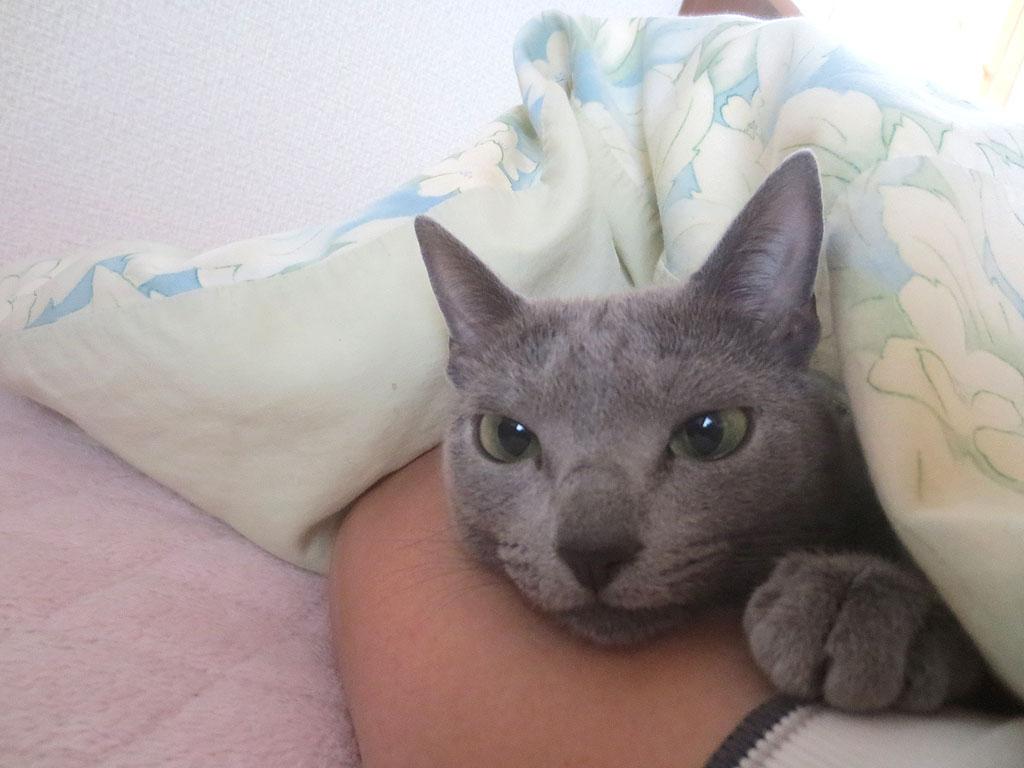 寝起きのロシアンブルー。