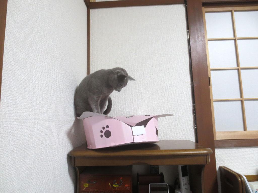 段ボールの家の上に乗るロシ子。