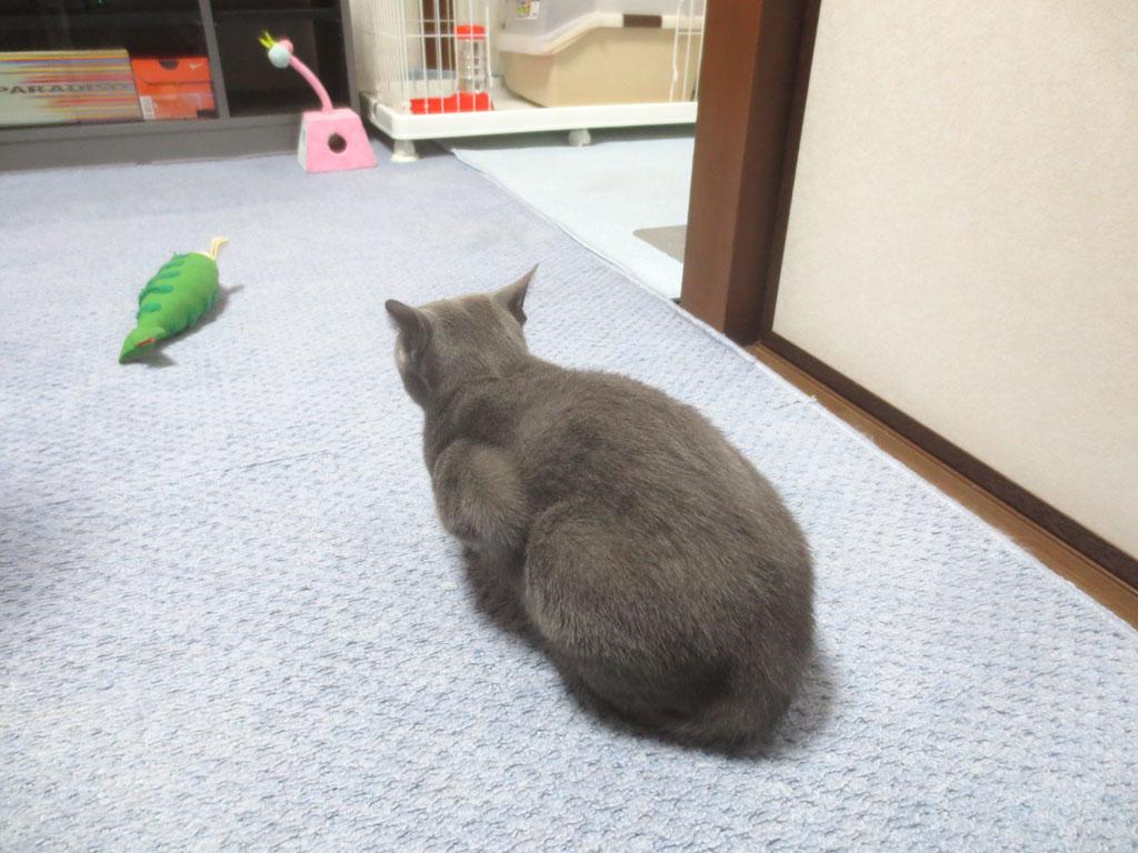 テレビを見ているロシ子。