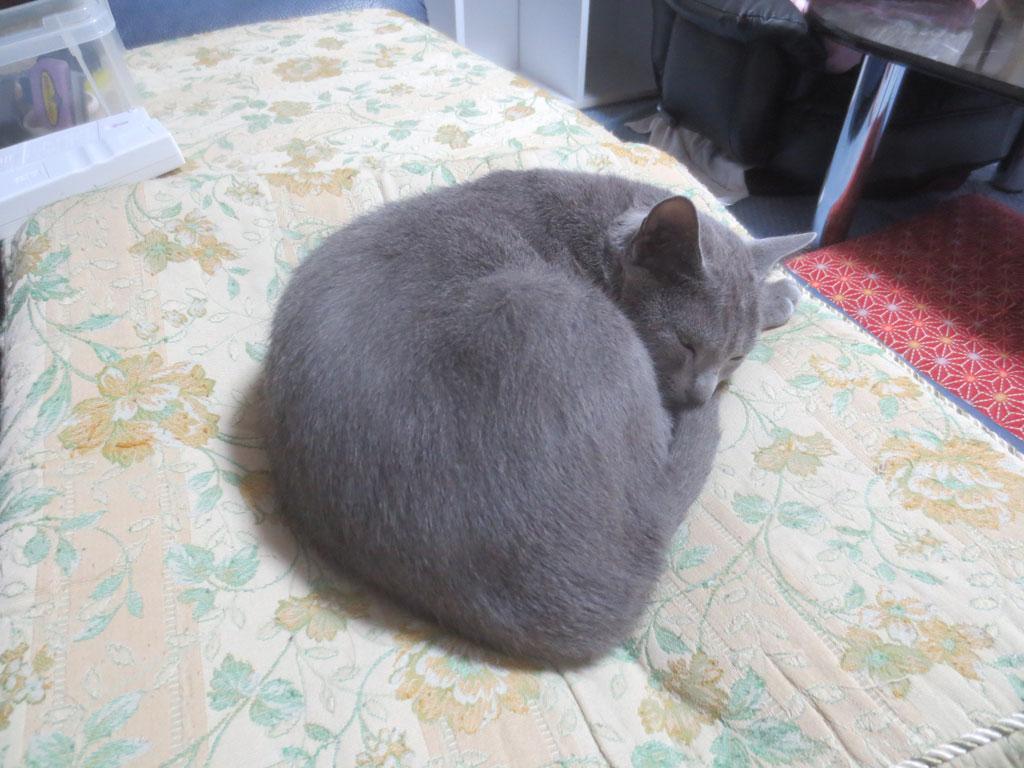 私の定位置で寝るロシ子。