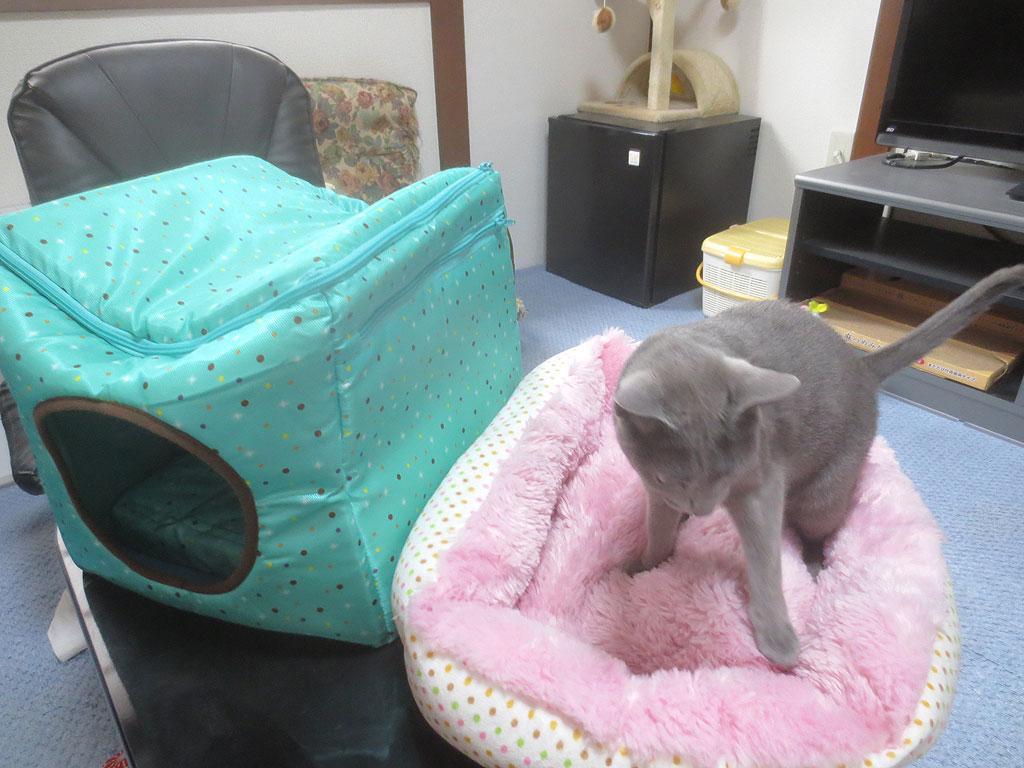 猫ベットの上のロシアンブルー。