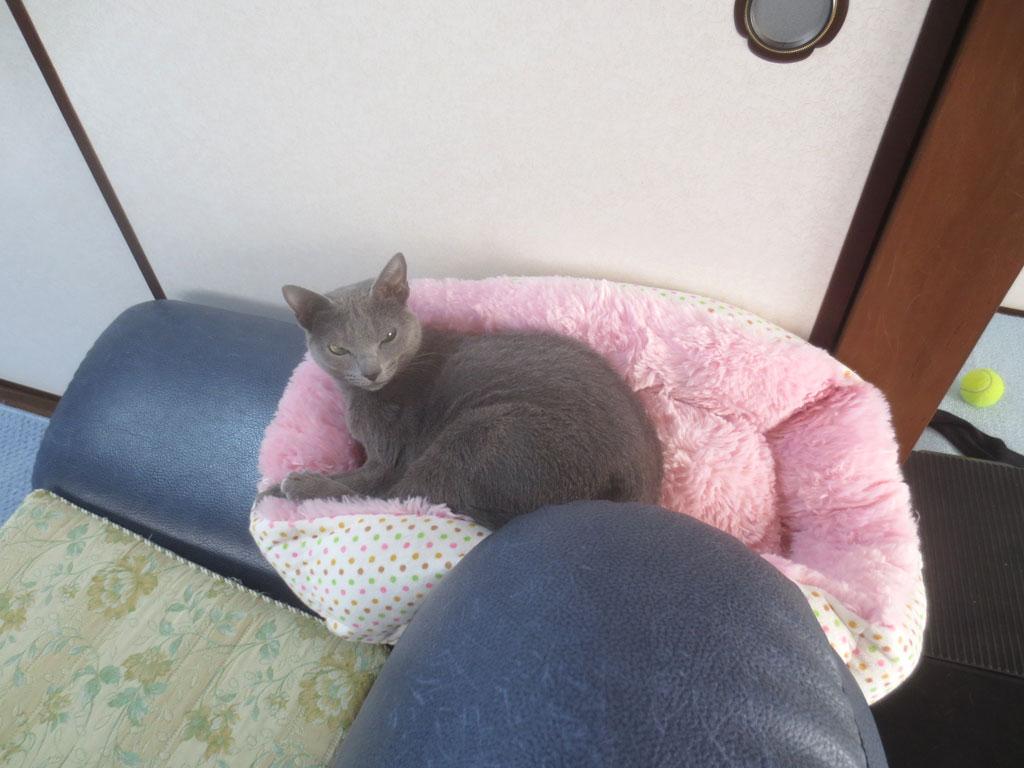 猫ベットでくつろぐロシ子。