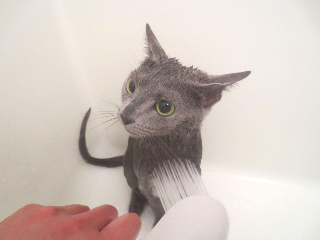 シャワーでシャンプーを流します。