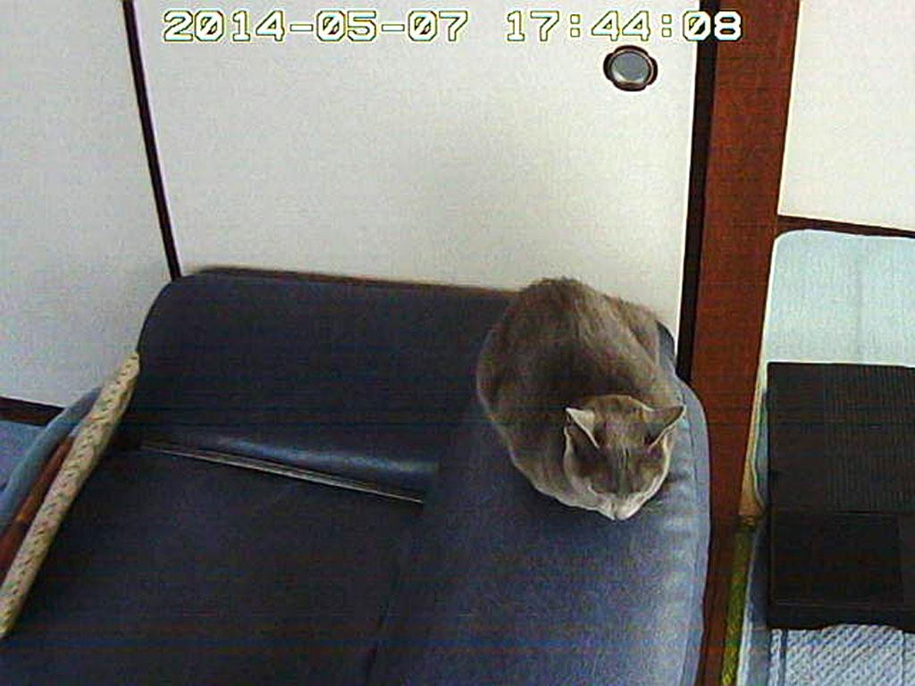 ソファーの背もたれに座るロシ子。