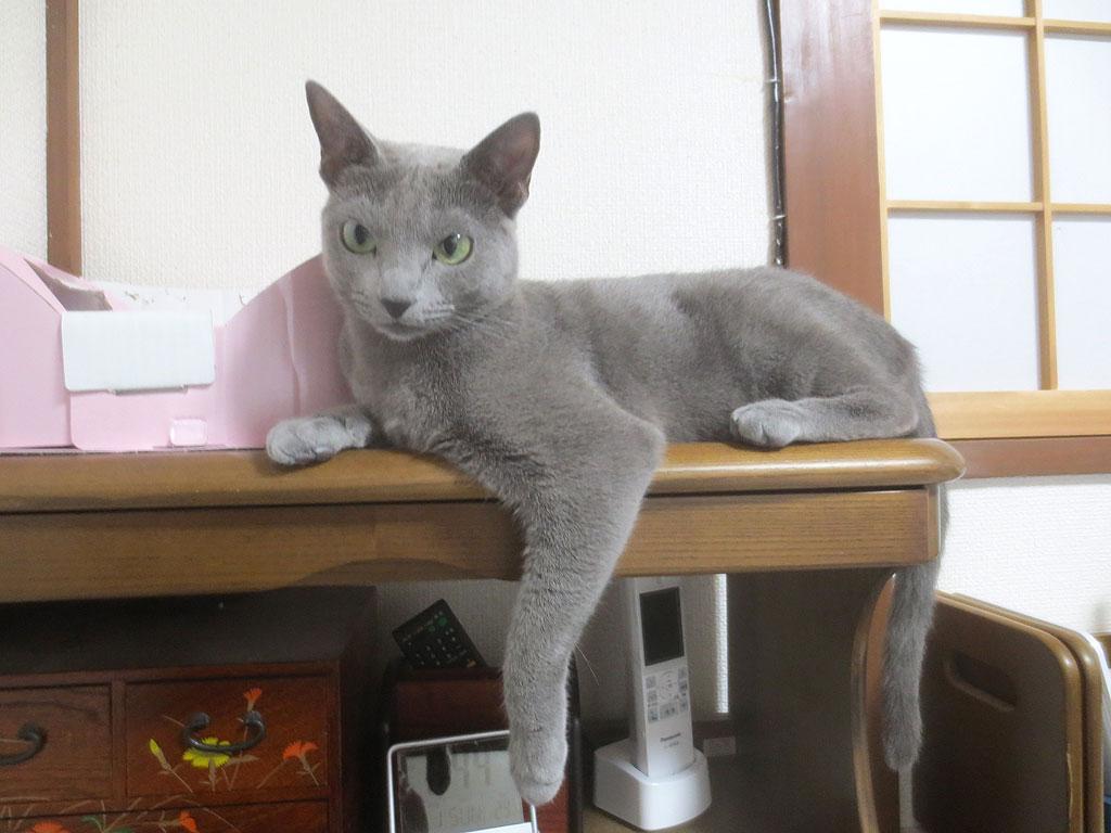猫らしいロシアンブルーのロシ子。