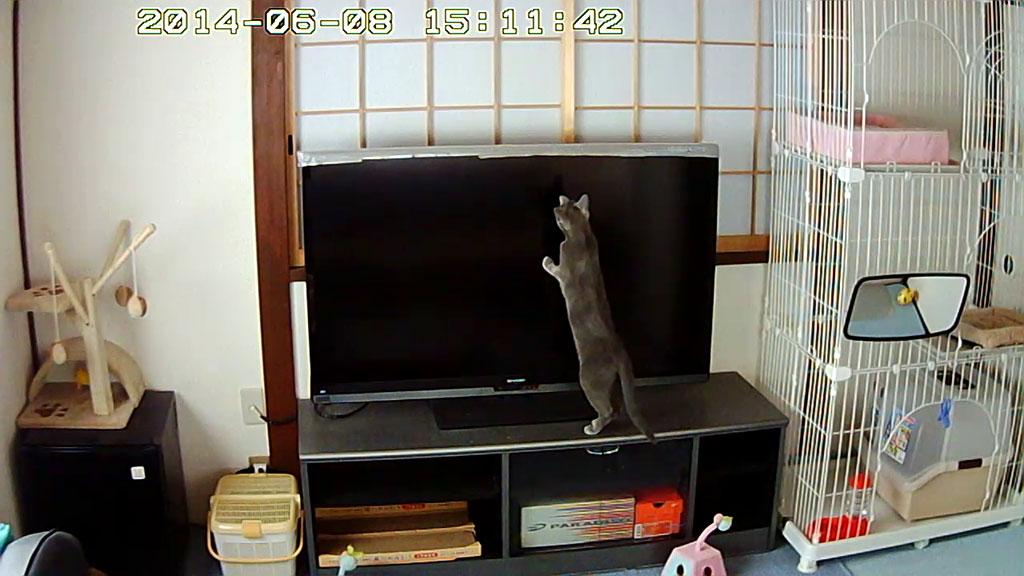 テレビに飛びつくロシアンブルー。