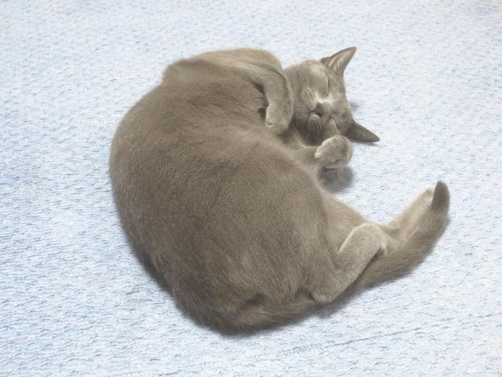 丸まって寝るロシ子。