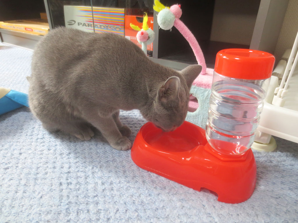 水を飲むロシアンブルー。
