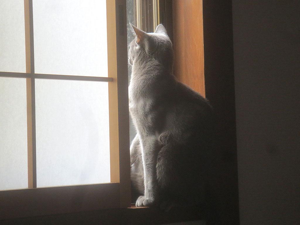 外を眺めるロシアンブルー。